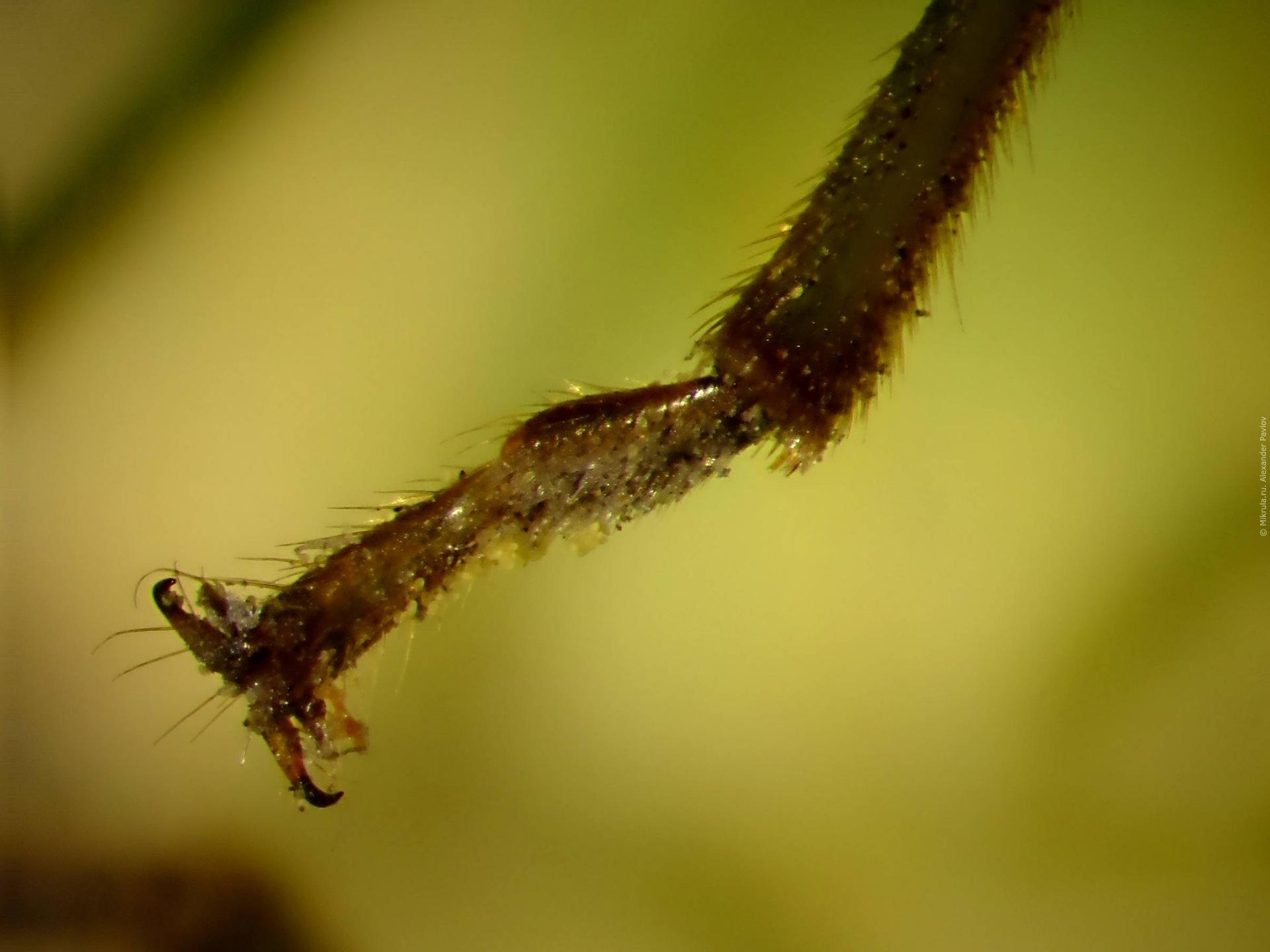 личинка мухи фото под микроскопом блокады
